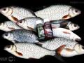 Feederfishing.tv attratix gardons